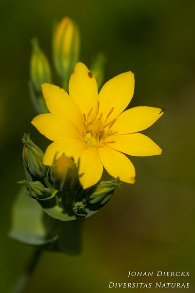 Blackstonia perfoliata - Zomerbitterling