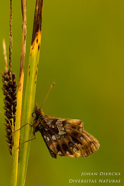 Boloria dia - Paarse parelmoervlinder