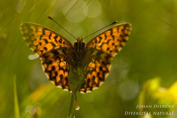 Boloria titania - Titania's parelmoervlinder