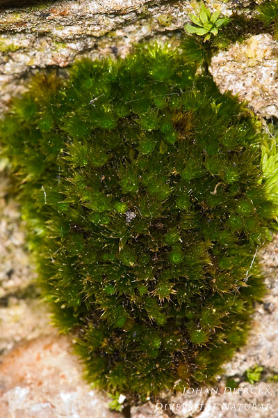 Bryum radiculosum - Muurknikmos