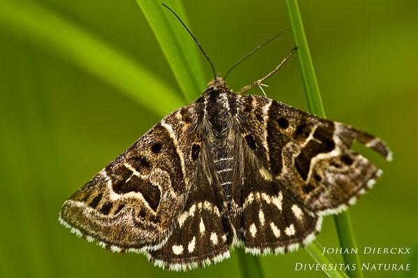 Callistege mi - Mi-vlinder