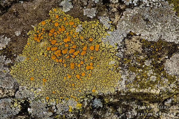 Caloplaca ruderum - Kerkcitroenkorst