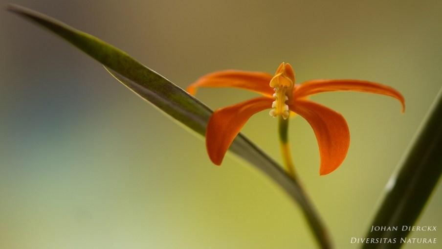 Cattleya harpophylla