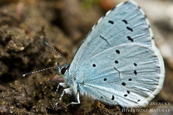 Celastrina argiolus  - Boomblauwtje