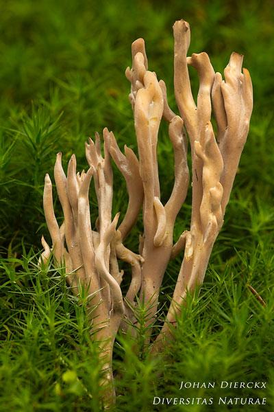Clavulina coralloides - Witte Koraalzwam