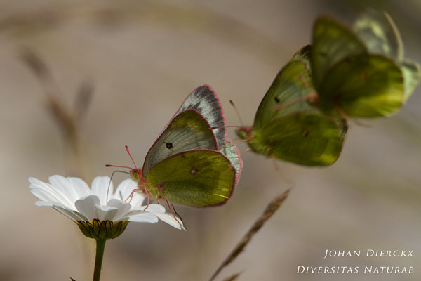 Colias phicomone - Bergluzernevlinder
