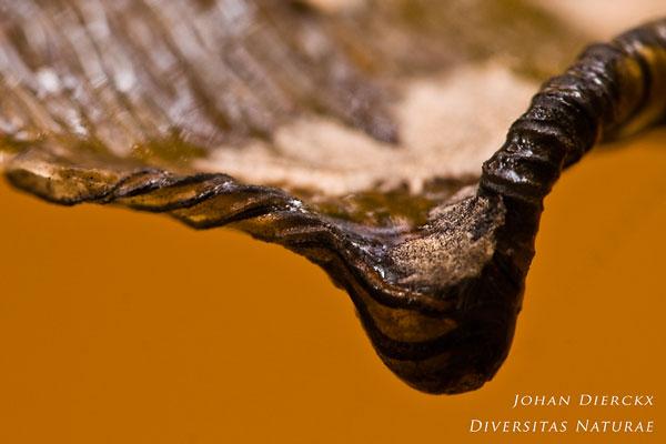 Coprinopsis picacea - Spechtinktzwam