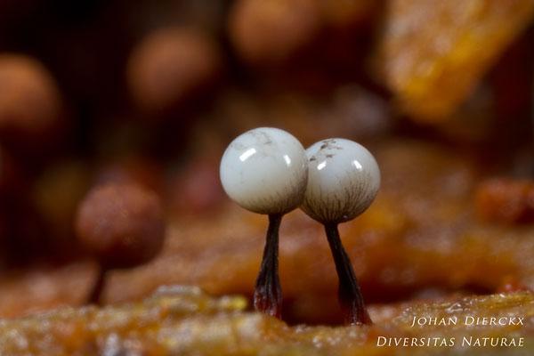 Cribraria rufa - Wijdmazig Lantaarntje