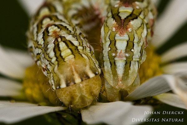 Cucullia chamomillae - Kamillevlinder