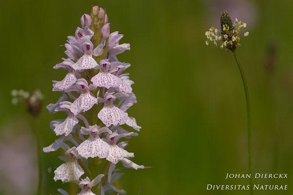 Dactylorhiza maculata - Gevlekte orchis