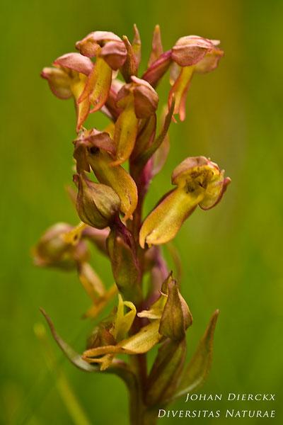 Coeloglossum viride - Groene nachtorchis