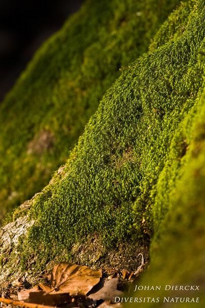 Dicranodontium denudatum - Priembladmos
