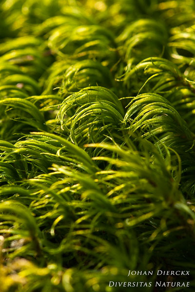 Dicranum scoparium - Gewoon gaffeltandmos