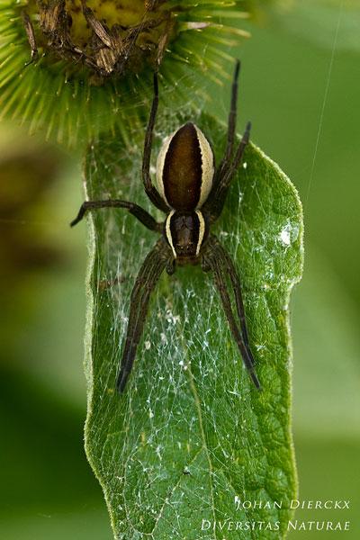 Dolomedes fimbriatus - Gerande Oeverspin