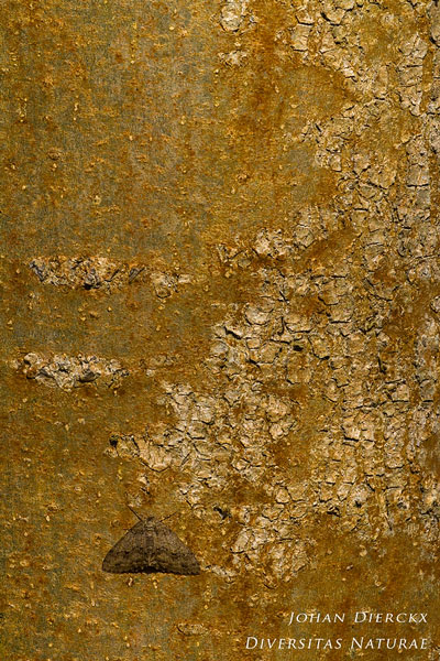 Ectropis crepuscularia - Gewone spikkelspanner