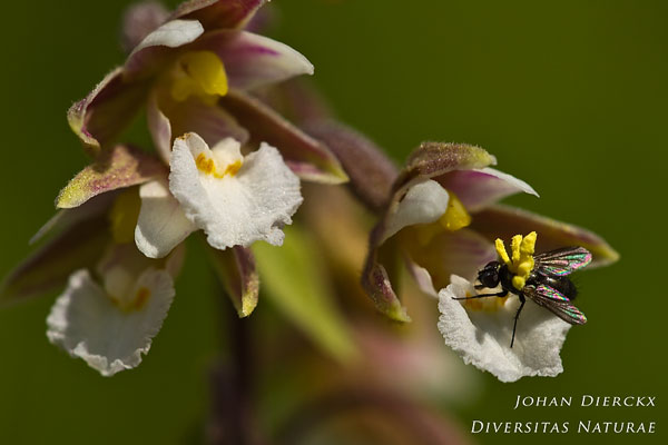 Epipactis palustris - Moeraswespenorchis & Diptera sp. - Vlieg sp.: Bestuiver