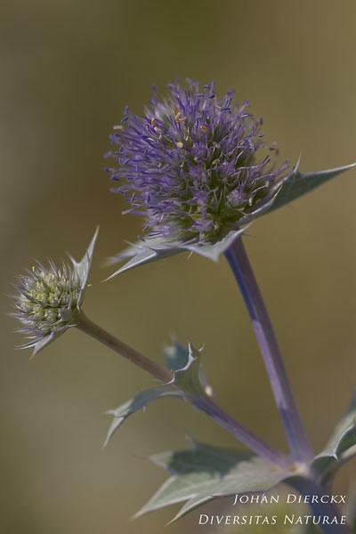 Eryngium maritimum - Blauwe zeedistel