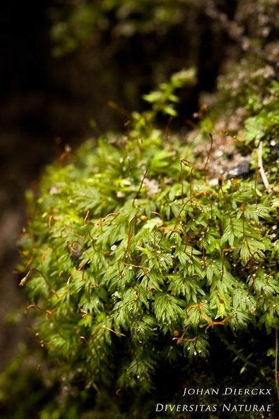 Fissidens bryoides - Gezoomd vedermos