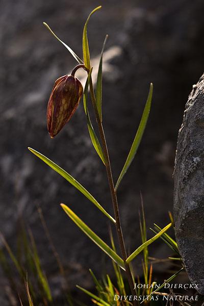 Fritillaria messanensis