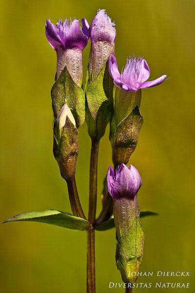 Gentianella campestris - Veldgentiaan