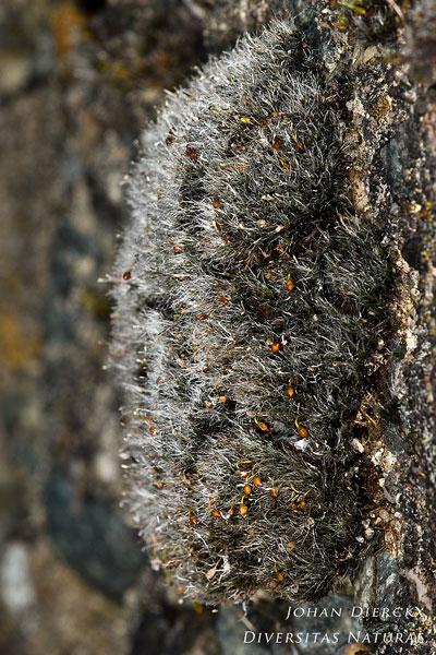 Grimmia orbicularis - Bolrond muisjesmos