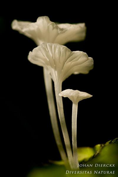 Hemimycena candida - Smeerwortelmycena