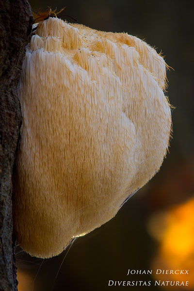Hericium erinaceus - Pruikzwam