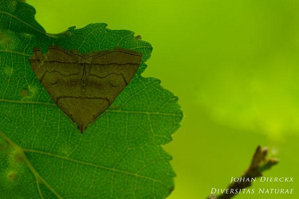 Herminia tarsicrinalis - Schaduwsnuituil