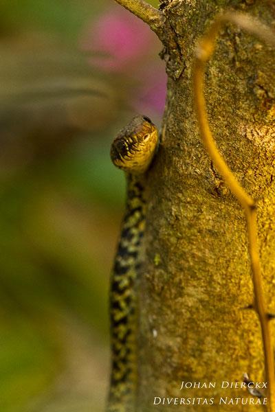 Hierophis viridiflavus - Geelgroene toornslang