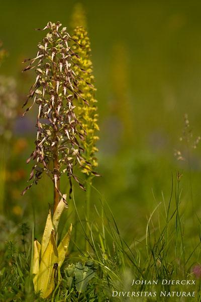 Himantoglossum hircinum - Bokkenorchis
