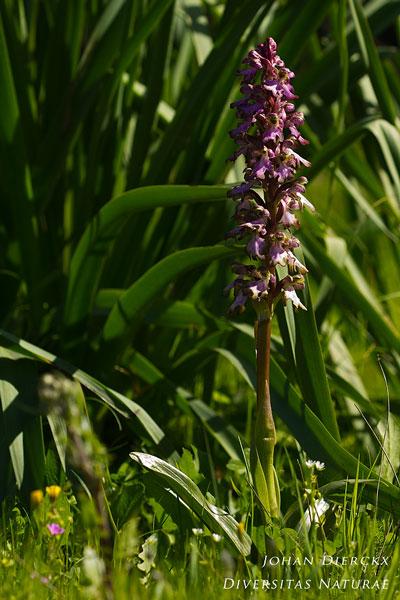 Himantoglossum robertianum - Reuzenorchis