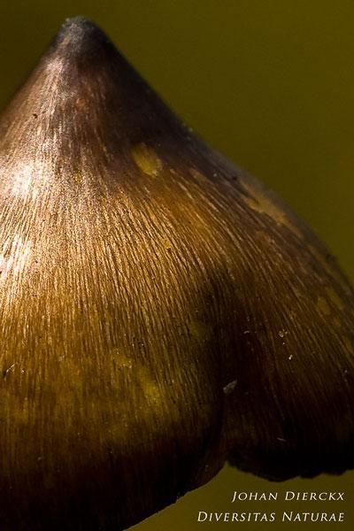 Hygrocybe conica - Zwartwordende wasplaat