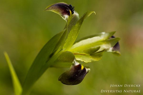 Iris tuberosa