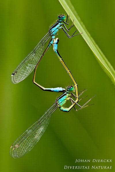 Ischnura elegans - Lantaarntje