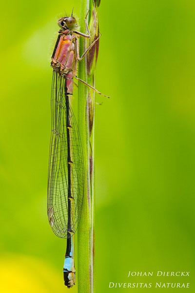 Ischnura elegans f. rufescens - Lantaarntje