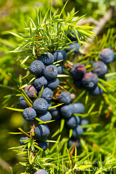 Juniperus communis - Jeneverbes
