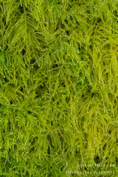 Kindbergia praelonga - Fijn Laddermos