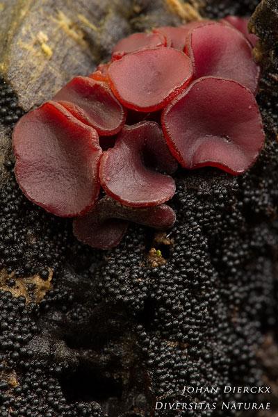 Lasiosphaeria spermoides - Stronkruigkogeltje