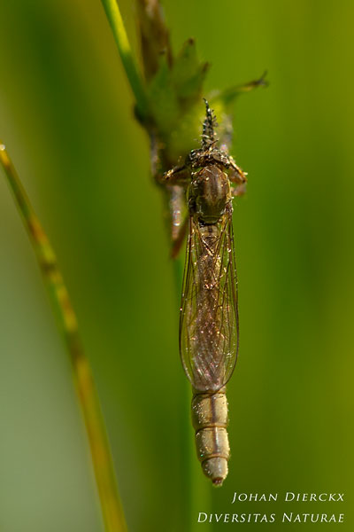 Leptogaster cylindrica - Grasjager