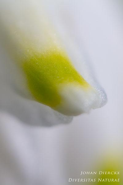 Leucojum aestivum - Zomerklokje