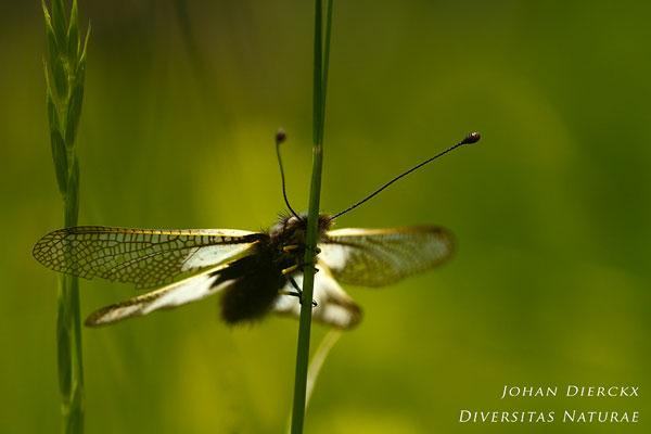 Libelloides coccajus - Gewone vlinderhaft