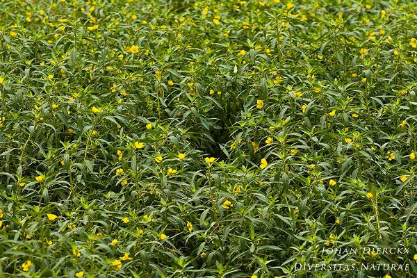 Ludwigia grandiflora - Waterteunisbloem