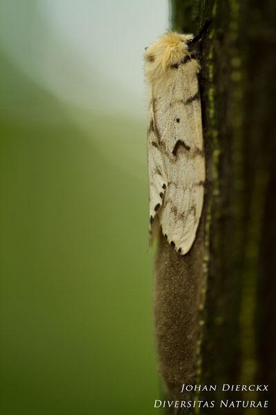 Lymantria dispar  Plakker  Johan Dierckx  Diversitas