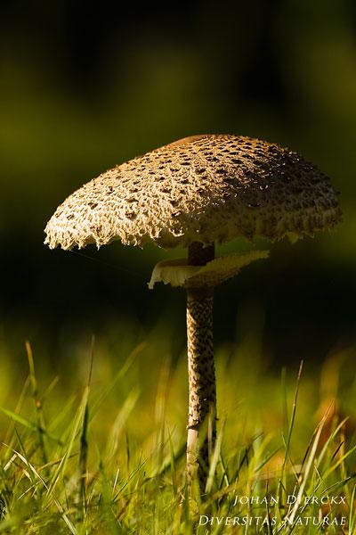 Macrolepiota procera - Grote parasolzwam