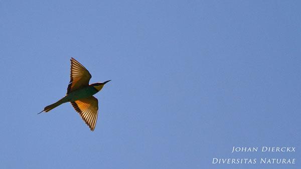 Merops apiaster - Bijeneter