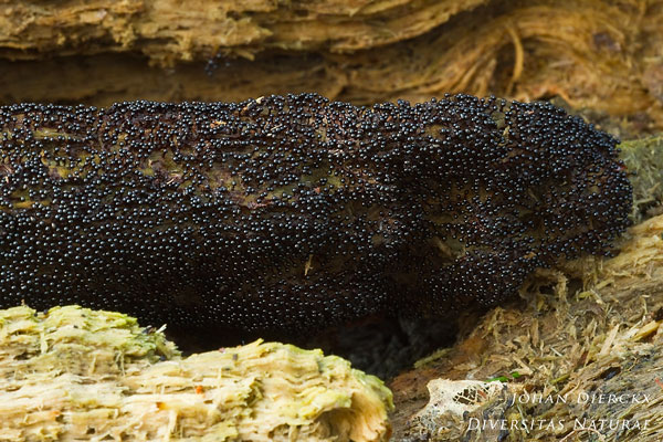 Metatrichia vesparium - Gebundeld kelkpluisje