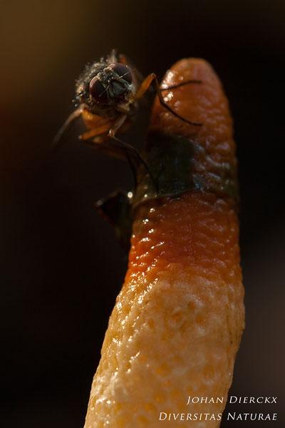 Mutinus caninus - Kleine stinkzwam