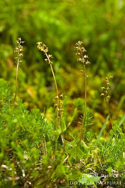 Neottia cordata - Kleine keverorchis