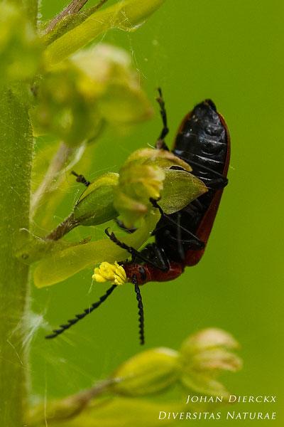 Neottia ovata - Grote keverorchis & Pyrochroa serraticornis - Roodkopvuurkever: Bestuiver