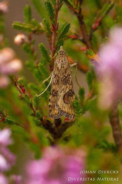Nomophila noctuella - Luipaardlichtmot